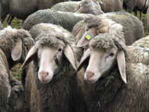 Schafe weiden derzeit trotz Kälte auf Klein-Auheimer und Steinheimer Wiesen. Bild: beko